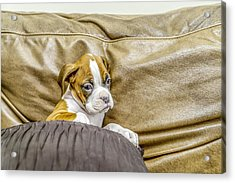 Boxer Puppy On Couch Acrylic Print by Tony Moran