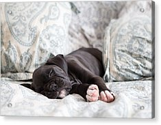 Boxer Puppy Sleeping Acrylic Print by Stephanie McDowell