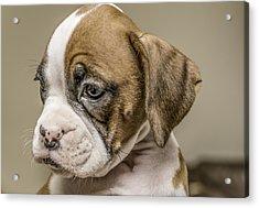 Boxer Puppy Acrylic Print by Tony Moran