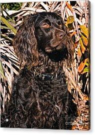 Boykin Spaniel Portrait Acrylic Print