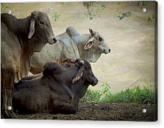 Acrylic Print featuring the photograph Brahman Cattle by Peggy Collins