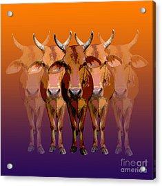 Brahman Cow Acrylic Print