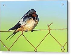 Bran Swallow On A Fence Acrylic Print by Bildagentur-online/mcphoto-schaef