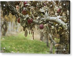 Branch Of An Apple Tree Acrylic Print by Juli Scalzi