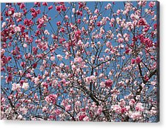 Branches And Blossoms Acrylic Print by Carol Groenen