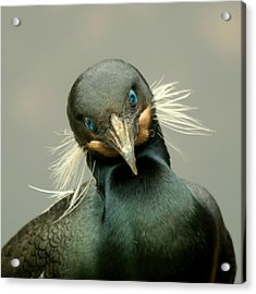 Acrylic Print featuring the photograph Brandt's Cormorant by Bob and Jan Shriner