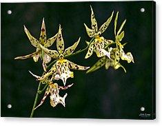 Acrylic Print featuring the photograph Brassidium Orchids by Aloha Art