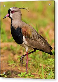 Brazil A Southern Lapwing (vanellus Acrylic Print