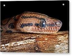 Acrylic Print featuring the photograph Brazilian Rainbow Boa Epicrates Cenchria by David Kenny