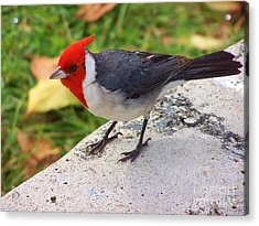 Acrylic Print featuring the photograph Brazilian Red Capped Cardinal by Brigitte Emme