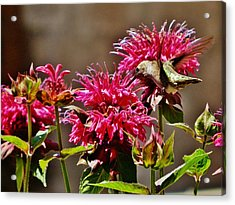 Acrylic Print featuring the photograph Breakfast At The Bee Balm by VLee Watson