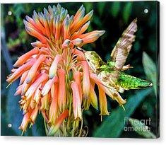 Breakfast For A Hummer Acrylic Print