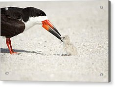 Black Skimmer And Chick. Acrylic Print