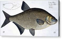 Bream Acrylic Print by Andreas Ludwig Kruger
