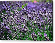 Breath Of Lavender Acrylic Print by CarolLMiller Photography
