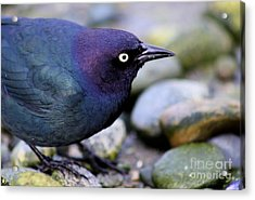 Brewers Blackbird Acrylic Print