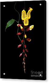Brick And Butter Vine Acrylic Print