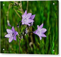 Acrylic Print featuring the photograph Bridges' Triteleia by Jim Thompson