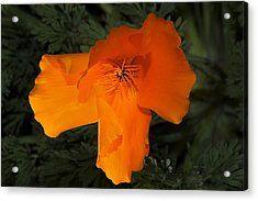 Bright California Poppy Acrylic Print
