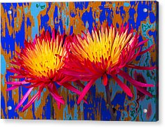 Bright Colorful Mums Acrylic Print by Garry Gay