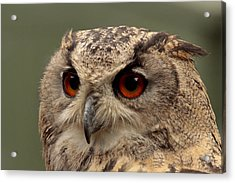 Bright Eyed Eagle Owl  Acrylic Print by Simon Gregory