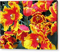 Acrylic Print featuring the photograph Bright Parrot Tulips by Gerry Bates