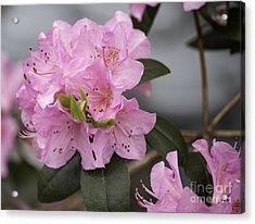 Bright Pink Azalea Acrylic Print by Arlene Carmel