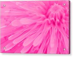 Bright Pink Dandelion Close Up Acrylic Print by Natalie Kinnear