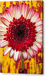 Bright Red And White Mum Acrylic Print by Garry Gay