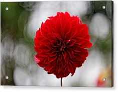 Bright Red Dahlia Acrylic Print