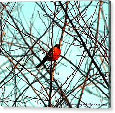 Bright Red Robin Acrylic Print