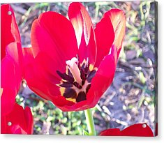 Acrylic Print featuring the photograph Bright Red Tulip by Belinda Lee