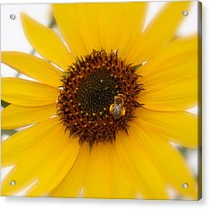 Acrylic Print featuring the photograph Vibrant Bright Yellow Sunflower With Honey Bee  by Jerry Cowart
