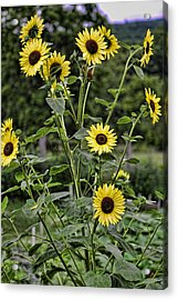 Bright Sunflowers Acrylic Print