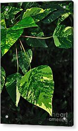 Bright Variegated Leaves Acrylic Print by Kaye Menner