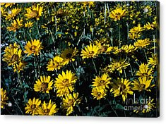 Brillant Flowers Full Of Sunshine. Acrylic Print by James Rabiolo