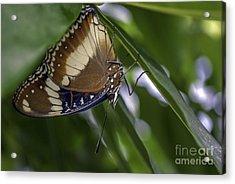 Brilliant Butterfly Acrylic Print by Ray Warren
