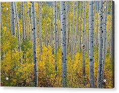 Brilliant Colors Of The Autumn Aspen Forest Acrylic Print