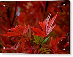 Brilliant Red Maples Acrylic Print by Linda Unger