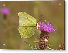 Brimstone On Creeping Thistle Acrylic Print by Paul Scoullar