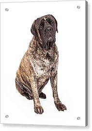 Brindle English Mastiff Dog Sitting Acrylic Print by Susan Schmitz
