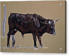 Brindle Steer Acrylic Print by Ann Marie Chaffin