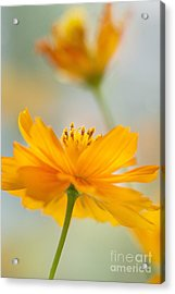 Bring Me A Little Sunshine Acrylic Print by Ivy Ho
