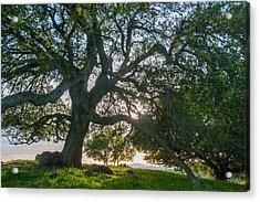 Briones Oak Acrylic Print
