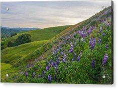 Briones Wildflowers Acrylic Print