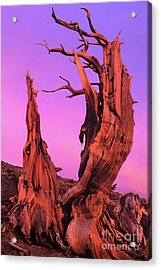 Acrylic Print featuring the photograph Bristlecone Pine At Sunset White Mountains Californa by Dave Welling