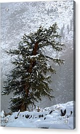 Bristlecone Pine In Snow Acrylic Print