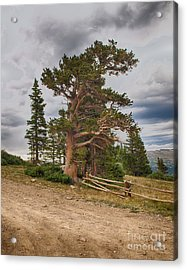 Bristlecone Pines Acrylic Print