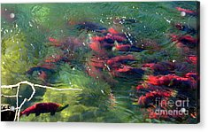 British Columbia Salmon Run  Acrylic Print by Kathy Bassett