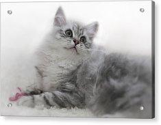 British Longhair Kitten Acrylic Print by Melanie Viola